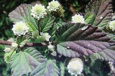 5 Samen aztekisches Süßkraut,Lippia dulcis#685