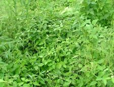 Quail Haven Soybean Seeds - Reseeding Bird Deer Wildlife Forage Seed (upto 1 LB)