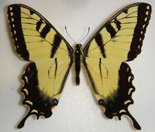 Papilio glaucus Indiana Tiger Swallowtail Butterfly Moth Insect Interesting Form