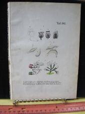 Vintage Print,BRACHIONUS CALYCIFLORUS,German Entomology,Reichenbacks