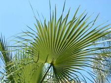 Brahea sarukhanii rare cold hardy palm 10 seeds