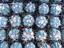 1 PLANT Echinocactus horizonthalonius (5cm) blue cactus no ariocarpus aztekium