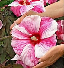 100 Giant Hibiscus Flower Seeds Hardy DIY Home Garden potted or yard plant