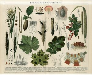 1895 PLANTS LEAVES DISEASES MUSHROOMS FUNGI Antique Chromolithograph Print