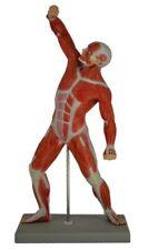 Anatomical Human Muscular Figure Model, 1/4 Life Size
