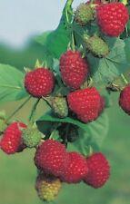 Rubus idaeus 'Zefa Herbsternte' Himbeere