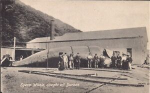 Sperm Whale, Whaling, Durban, South Africa, 1910's, Whaling Shack for Industry