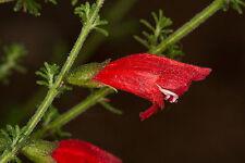 Prostanthera aspalathoides red in 75mm supergro tube native plant