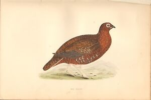 1870 - ANTIQUE ORNITHOLOGICAL PRINT - RED GROUSE