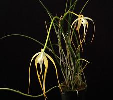 Brassavola cucullata species orchid plant
