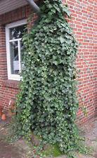 Efeu Hedera helix 60-80cm immergrüne Kletterpflanze
