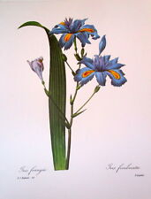 P. J. Redoute 58 Iris frangee' vintage print