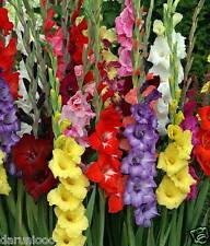 10 Gladioli Mixed Gardening Bulb Corm Beautiful Spring Summer Flower Perennial