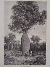 Bottle Tree Queensland Australia Brachychiton rupestris Engraving 1896