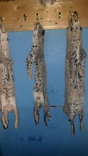 1 Tanned Bobcat Fur hide Pelt real animal skin taxidermy rug piece man cave #5