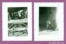 LOT 2 PETITS TIRAGES ARGENTIQUES ANIMAUX : CHIENS, CHIOTS TECKEL , 1957 -F100
