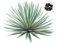 Agave Angustifolia Succulent Tree Plant Fresh Seeds 500+
