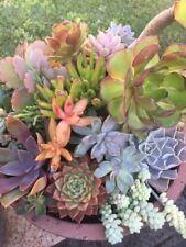 "100 mixed fresh succulent cuttings 1"" - 5""  some rare kalanchoe sedum crassula"
