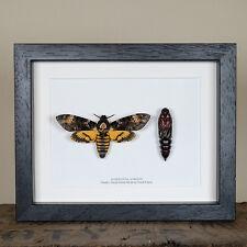 Pupae and Deaths Head Hawk Moth in Box Frame (Acherontia atropos)