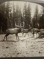 Vintage Keystone Stereoview American Elk-Nature Animals