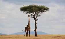 Giraffe *2X3 Fridge Magnet* Wild Africa Yellow Brown Long Neck Legs Zoo Mammal
