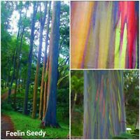 20 RAINBOW EUCALYPTUS TREE (Eucalyptus Deglupta) SEEDS Colourful Native Bonsai