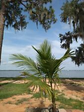 Coconut Palm Tree 6 foot tall (Lic. to ship to ALL cont. USA states exc. Texas)