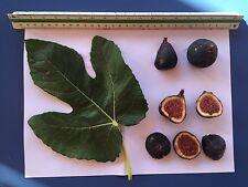 Delicious Fig Trees * Ficus Carica Var. MARTINENCA 3 fresh cuttings