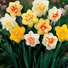 800Pcs Mixed Daffodil Double Narcissus Duo Bulbs Seeds Spring Plant Flower Decor
