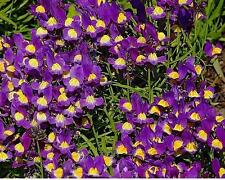 Viola Cornuta King Henry Perennial Seeds