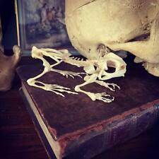 Cabinet de curiosités Oddities squelette crapaud Duttaphrynus melanostictus