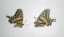 PAPILIO ALEXANOR ssp.MAGNA *1 x male ex larvae*(unmounted)MACEDONIA