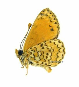 Unmounted Butterfly / Nymphalidae - Melitaea casta wiltshirei, male, RARE, Iran