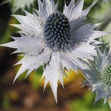 Flower - Eryngium giganteum - Miss Wilmott's Ghost - 75gr