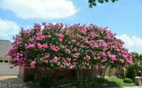 (4 pack) Basham Party Crepe Myrtle Trees-PINK BLOOMS- Qt size-1 ft tall