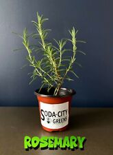 Rosemary Perennial Herb Live Plant! Ready for your garden!