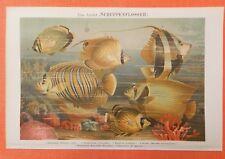 Schuppenflosser Korallenfisch Klippfisch Geißler Fische  Lithographie 1897