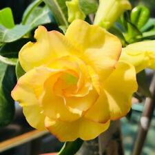 """5 pcs desert rose (Adenium obesum) flower bonsai """" Yellow sky"""" seeds #D018"""
