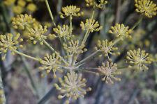 "5 Samen sizilianischer Gewürzfenchel,Foeniculum vulgare "" Regaleali""#668"