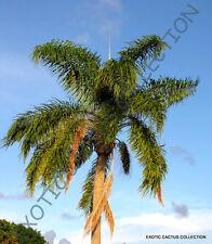 SYAGRUS ROMANZOFFIANA @@ queen palm tree exotic tropical rare palms seed 5 seeds