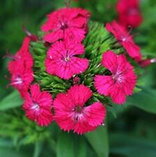 CHERRY JOLT Dianthus barbatus interspecific plants- large 4cell seedling punnet