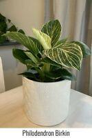 Philodendron Birkin | Rare Live 6-inch Potted Plant