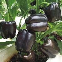 100 Seeds Jalapeno Schwarz Chili Pfeffer Jalapenosamen Fruchtig Mittelscharf Set
