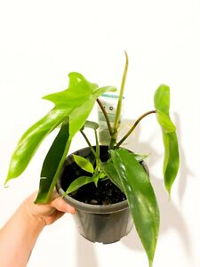 Philodendron Florida Ghost TC