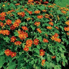 MEXICAN SUNFLOWER Tithonia✿200 Seeds✿4-6 Ft Tall Bush DROUGHT TOLERANT✿Flowers
