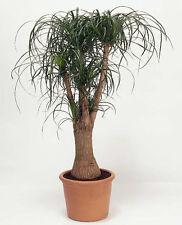 Ponytail Plant - 50 Seeds - Beaucarnea recurvata