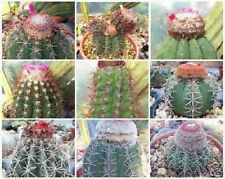 Melocactus Variety Mix exotic cacti turk's cap rare cactus semi seed 1000 Seeds
