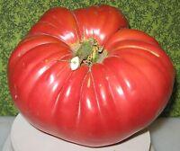 Tomate Beefsteak - Riesen Fleischtomate - 10+ Samen