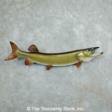#18237 E+ | Muskellunge Freshwater Taxidermy Fish Mount <> Musky Muskie