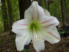 2 amaryllis bulbs off-sets plants Hippeastrum Vittatum Lily Flower 6-12cm.
